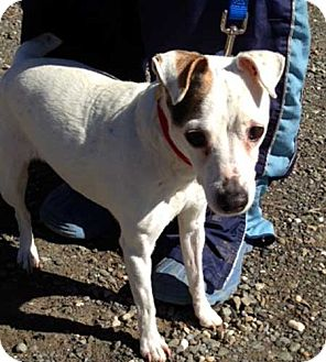 Jack Russell Terrier Mix Dog for adoption in Rhinebeck, New York - June