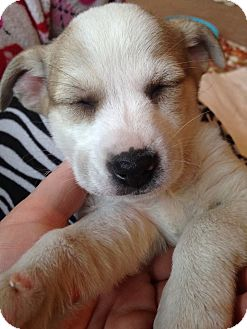 Chihuahua/Terrier (Unknown Type, Small) Mix Puppy for adoption in Urbana, Ohio - Olive