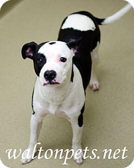 Bulldog/Boston Terrier Mix Dog for adoption in Monroe, Georgia - GEORGE