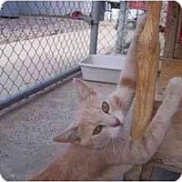 Adopt A Pet :: Bastille - El Cajon, CA