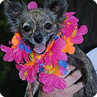Adopt A Pet :: PixieDust - New Milford, CT