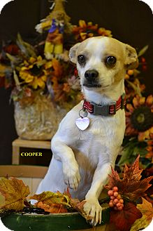 Hound (Unknown Type)/Chihuahua Mix Dog for adoption in Higley, Arizona - COOPER