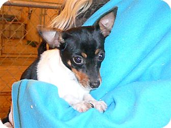 Toy Fox Terrier/Chihuahua Mix Dog for adoption in Liberty Center, Ohio - Minnie