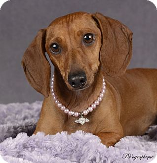Dachshund Mix Dog for adoption in Las Vegas, Nevada - Sonya