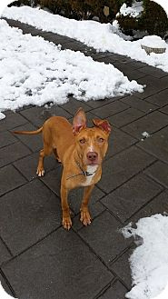 Pharaoh Hound Mix Puppy for adoption in Colonial Heights, Virginia - Phoenix
