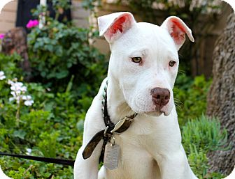 American Bulldog/Pit Bull Terrier Mix Puppy for adoption in Los Angeles, California - Huckleberry