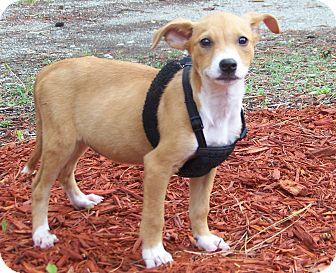Shepherd (Unknown Type)/Hound (Unknown Type) Mix Puppy for adoption in Burgaw, North Carolina - Niki