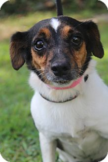 Jack Russell Terrier Mix Dog for adoption in Waldorf, Maryland - Penny