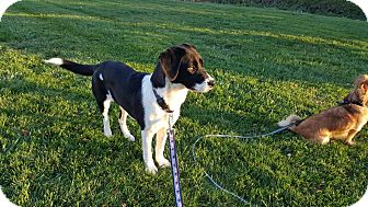Border Collie/Labrador Retriever Mix Dog for adoption in West Warwick, Rhode Island - Treasure