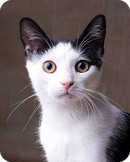 Domestic Shorthair Cat for adoption in Corona, California - JAZMIN