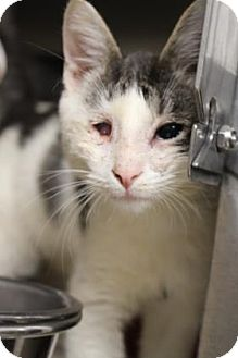 Domestic Shorthair Cat for adoption in Baltimore, Maryland - Rico