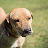 Labrador Retriever Mix Dog for adoption in Daleville, Alabama - Hayden