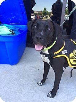 Boxer Mix Dog for adoption in Monroe, North Carolina - BeeBee