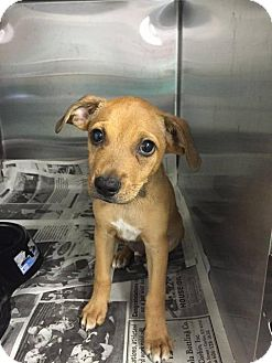Labrador Retriever Mix Puppy for adoption in Danbury, Connecticut - Scooby