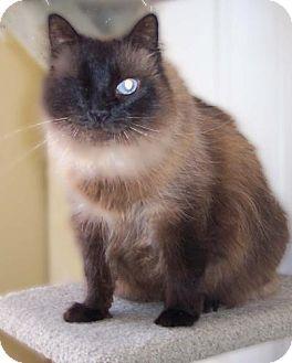 Himalayan Cat for adoption in Walnut Creek, California - Tomasina