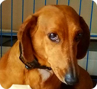 Dachshund Dog for adoption in Andalusia, Pennsylvania - Buddy