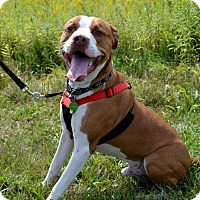 Pit Bull Terrier Mix Dog for adoption in East Smithfield, Pennsylvania - Morpheus