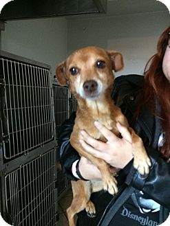 Chihuahua/Mixed Breed (Small) Mix Dog for adoption in San Ysidro, California - Ballini