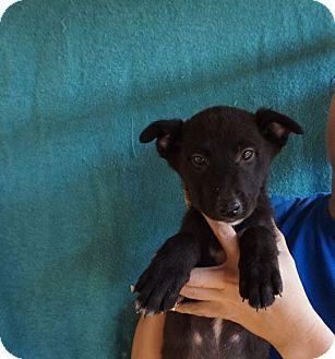 Border Collie/Golden Retriever Mix Puppy for adoption in Oviedo, Florida - Ophelia