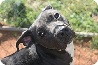 Boxer/Terrier (Unknown Type, Small) Mix Dog for adoption in Goodlettsville, Tennessee - Sheba