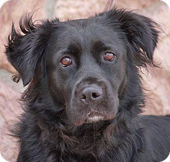 Golden Retriever Mix Dog for adoption in Los Angeles, California - Shady von Sterlyn