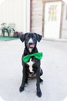 Labrador Retriever Mix Dog for adoption in Portland, Oregon - Atticus
