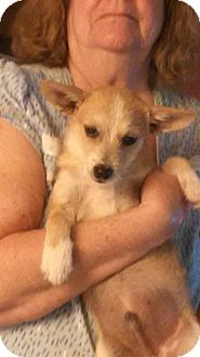 Chihuahua Mix Puppy for adoption in Memphis, Tennessee - Pedro