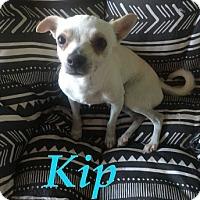 Adopt A Pet :: KIP - 2YR OLD CHIHUAHUA - Mesa, AZ