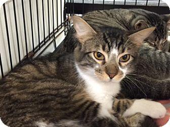 Domestic Shorthair Cat for adoption in Oviedo, Florida - Simba