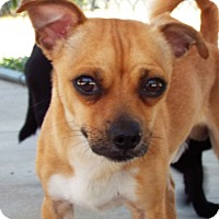 Adopt A Pet :: Cheeto - Grants Pass, OR