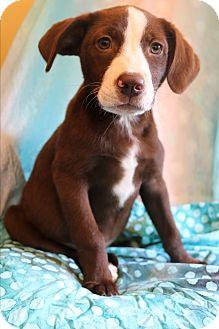 Labrador Retriever/Australian Shepherd Mix Puppy for adoption in Hagerstown, Maryland - Promise