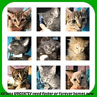 Adopt A Pet :: LOTS OF KITTENS - Malvern, AR