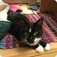 Adopt A Pet :: Misty - Barrington Hills, IL