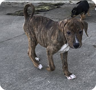 Pit Bull Terrier Mix Puppy for adoption in Tumwater, Washington - Brynn