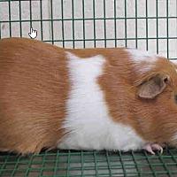 Adopt A Pet :: *Urgent* Tyrion - Fullerton, CA