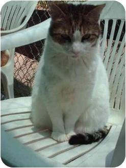 Domestic Shorthair Cat for adoption in El Cajon, California - Minnie Pearl