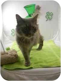 Domestic Shorthair Cat for adoption in North Charleston, South Carolina - Bella