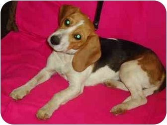 Beagle Dog for adoption in Windham, New Hampshire - Buckey