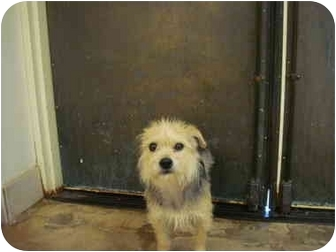 Terrier (Unknown Type, Small) Mix Dog for adoption in Nichols Hills, Oklahoma - Snickers