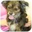 Photo 1 - Pekingese/Chihuahua Mix Dog for adoption in Lake Odessa, Michigan - Dutchess