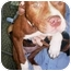 Photo 1 - Pit Bull Terrier/American Staffordshire Terrier Mix Puppy for adoption in Lebanon, Pennsylvania - Claire