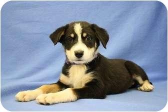 Australian Shepherd/Border Collie Mix Puppy for adoption in Broomfield, Colorado - Pokemon