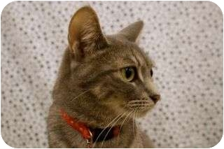 Domestic Shorthair Cat for adoption in Warren, Michigan - Devon