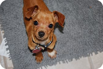 Chihuahua/Dachshund Mix Puppy for adoption in New Milford, Connecticut - chico