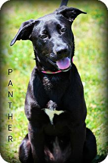 Labrador Retriever Mix Puppy for adoption in mishawaka, Indiana - Panther