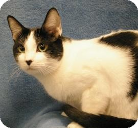 Domestic Shorthair Cat for adoption in Sacramento, California - C.C.