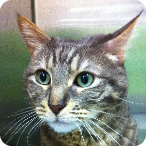 Domestic Shorthair Cat for adoption in Gilbert, Arizona - Wellington