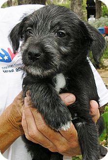 Schnauzer (Miniature)/Poodle (Miniature) Mix Puppy for adoption in Austin, Texas - Jake