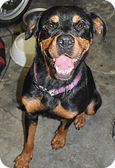 Rottweiler Dog for adoption in Pembroke Pines, Florida - Ginger