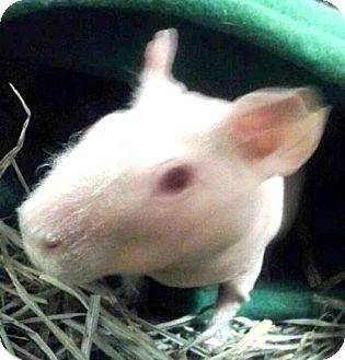 Guinea Pig for adoption in Edinburg, Pennsylvania - Oscar and Marvin